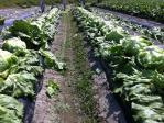 4月25日レタス収穫