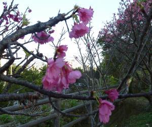 20110205桜