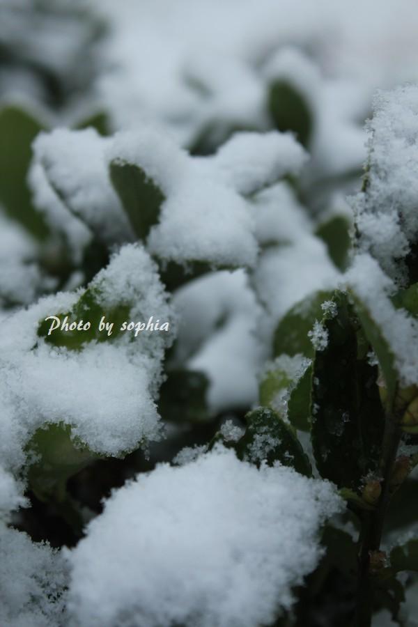 2013年12月12日雪と玉椿