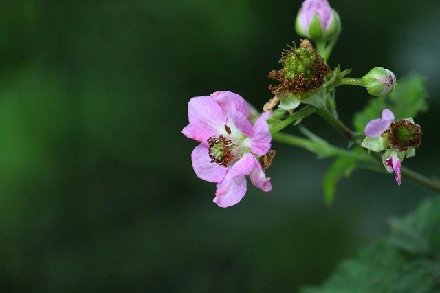 美味しい実になる前も可愛い花です