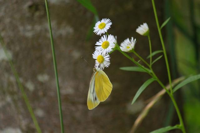 黄色なのに・・・シロチョウとはこれいかに!