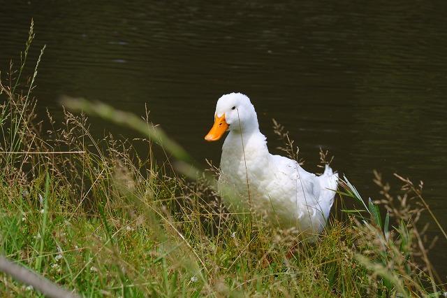 池の住人のアヒルさん