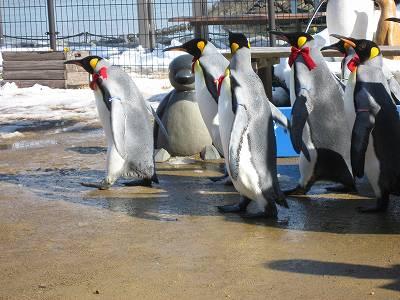 ペンギンパレードの様子2