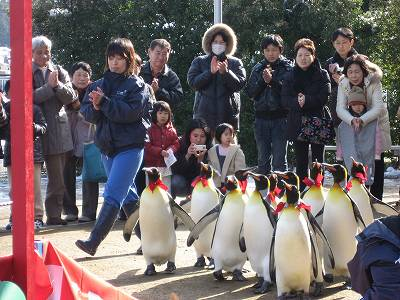 キングペンギンたちの鳥居くぐり2