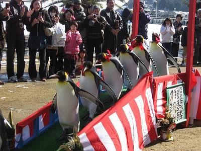 キングペンギンたちの鳥居くぐり4