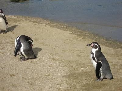 砂浜のフンボルトペンギン