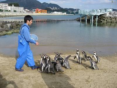 フンボルトペンギンのえさやり1