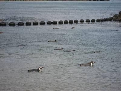 海上のフンボルトペンギン