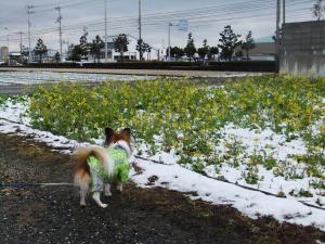 菜の花に雪