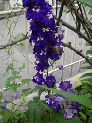 デルフィ紫