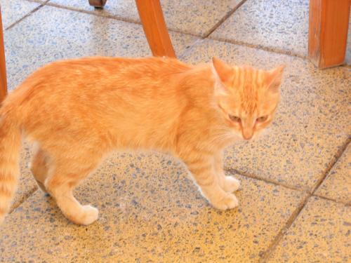 エーゲ海レストランの虎猫