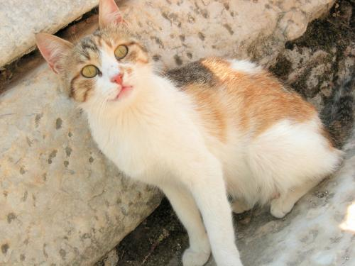 エフェス遺跡の三毛猫