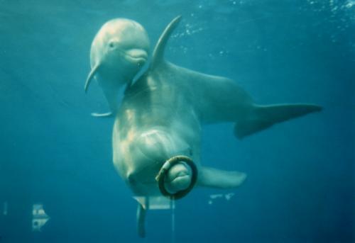 イルカの輪っか