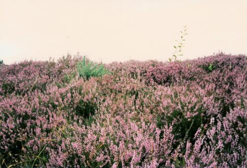 ヒースの花