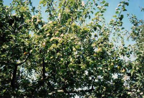 ストラトの林檎の木