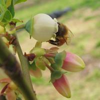 スパルタンとミツバチ2011年4月26日