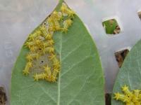イラガ若齢幼虫
