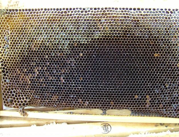 西洋ミツバチの人口巣