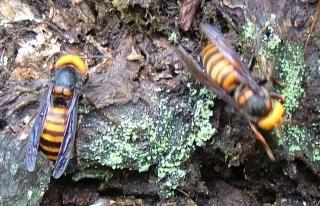 巣スズメバチ1
