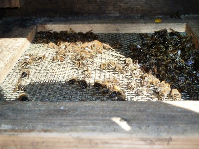 日本ミツバチの死骸