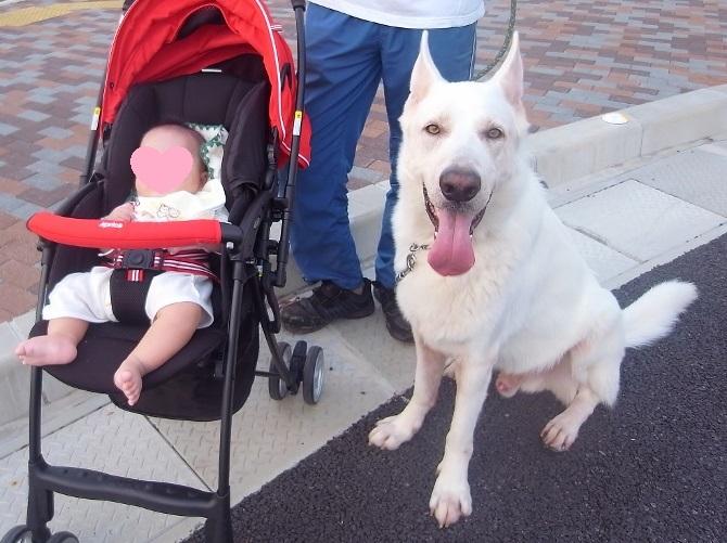 ホワイトシェパード テーオと赤ちゃん