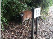 鹿のしっぽ