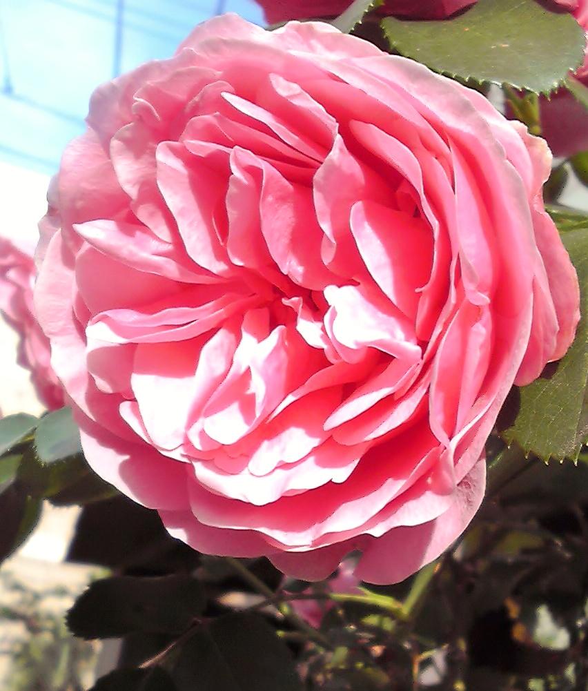今日見つけた薔薇