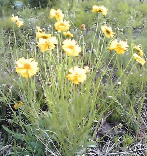 ランコースの黄色いお花