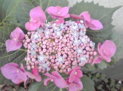 高山さんのおうちの紫陽花。