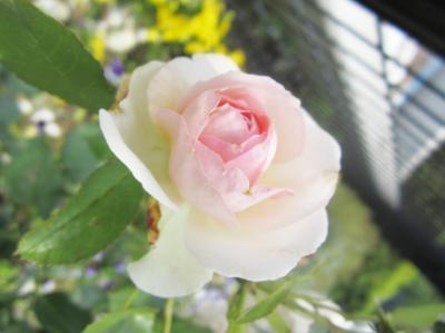 等々力公園のかわいい白とピンクの薔薇