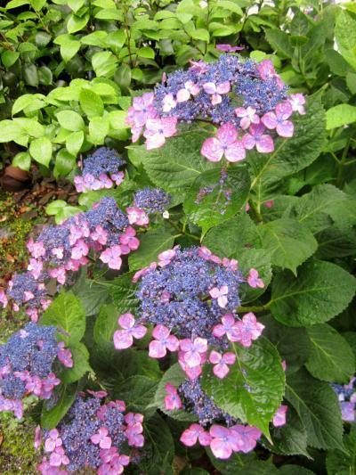 宮内に咲く紫陽花