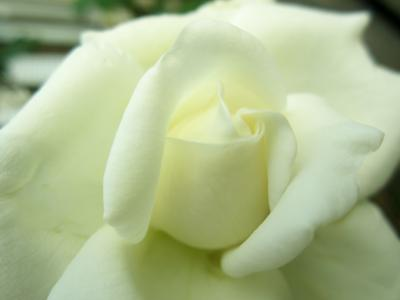 アイスのような白い薔薇