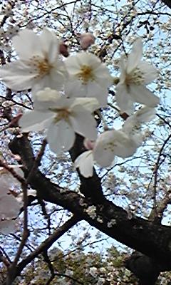 120329_163602 桜