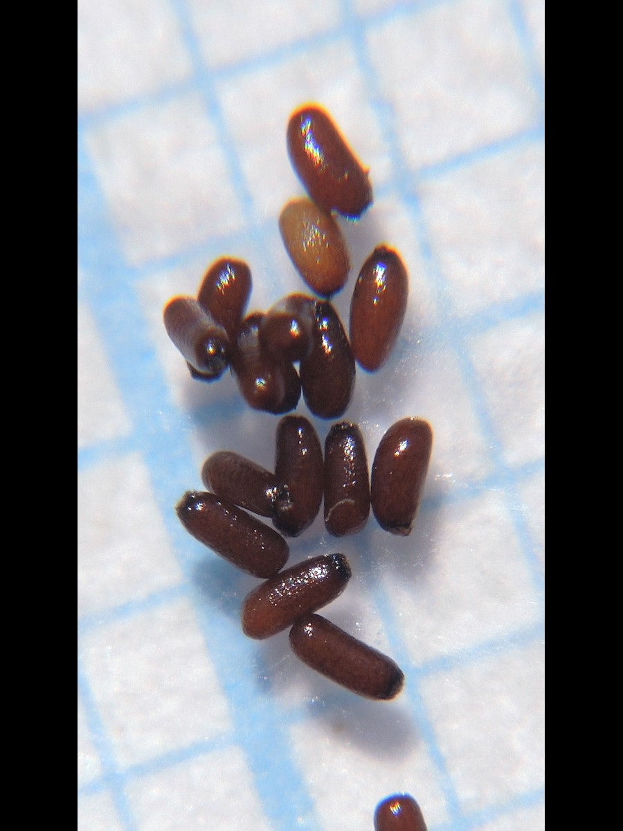 キクモ 種子