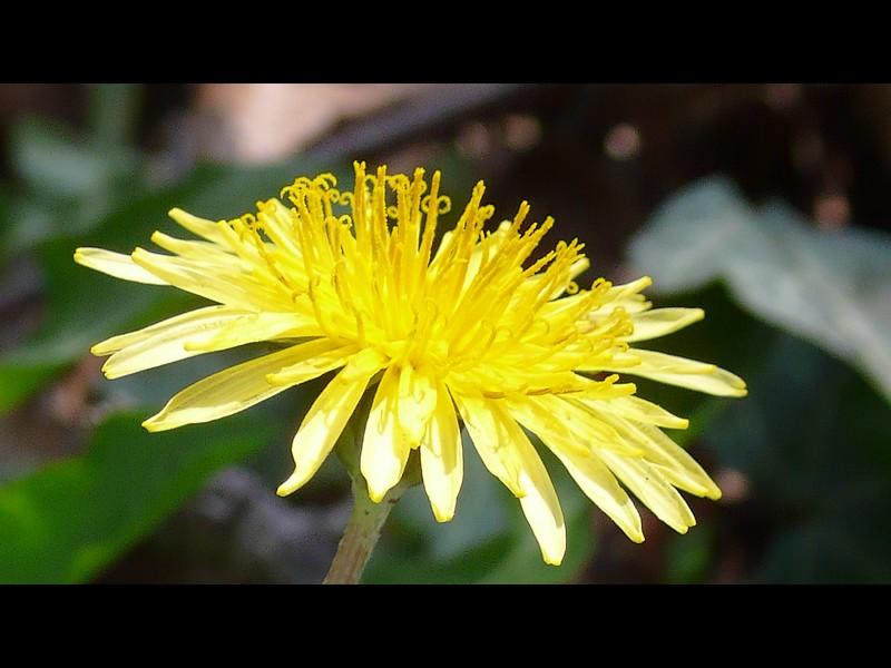 カントウタンポポ 頭花の拡大