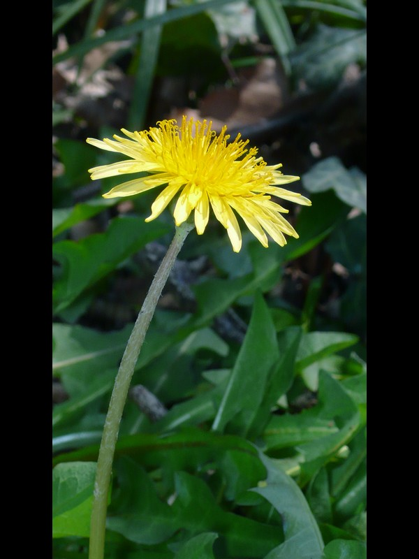 カントウタンポポ 頭花
