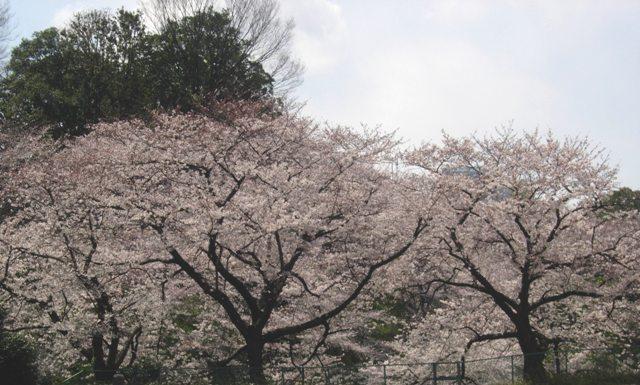 東京の春11