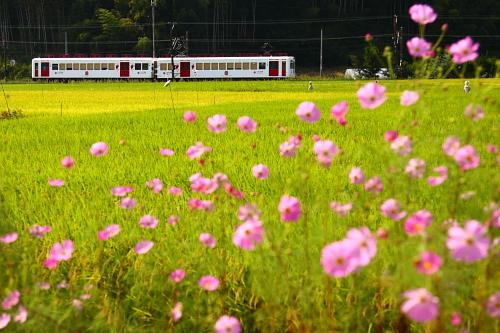 2008_09_20大池秋桜