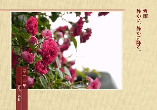 雨と紅いバラ