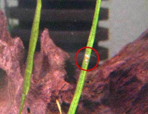 孵化稚エビ