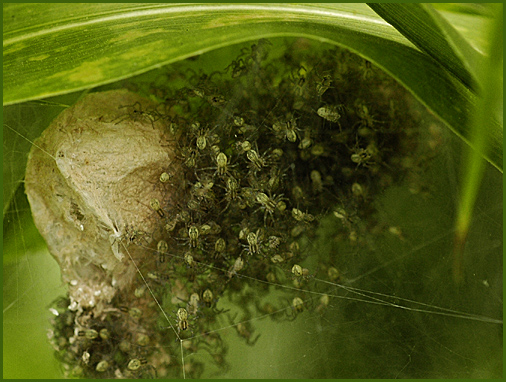 e0032399_185844蜘蛛の子