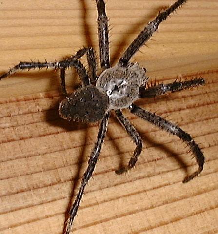 onigumoD337蜘蛛④