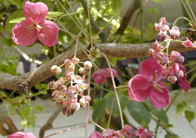 akebi4aアケビの雄花と雌花4月