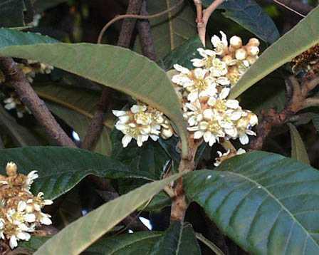biwaびわの花12月