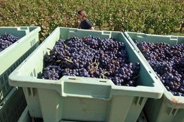 grape収穫
