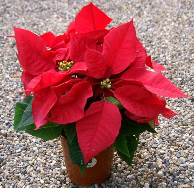 620px-Euphorbia_pulcherrima_redfox1.jpg