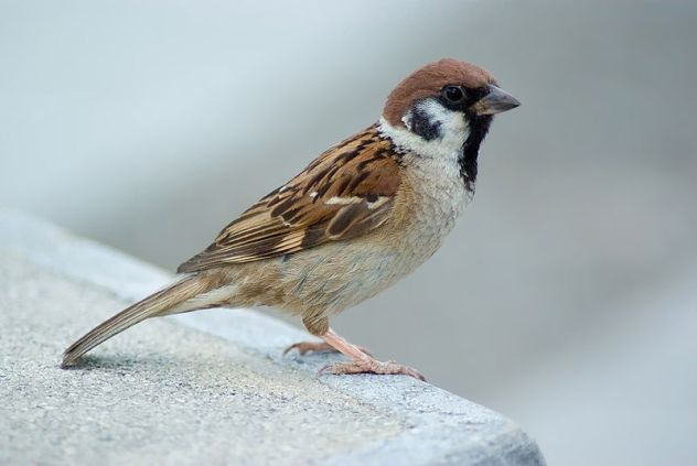 800px-Tree_Sparrow_August_2007_Osaka_Japan.jpg