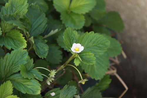 植物ストロベリー006