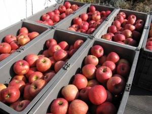 ワタシは真っ赤なリンゴです~♪