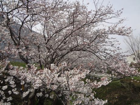 010桜1
